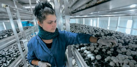 Курские грибы поставляют в федеральные торговые сети